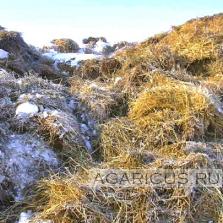 Пшеничная солома не прессованная