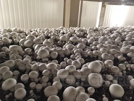 Первая волна во время сбора. Достаточно хорошо просматриваются разные поколения, что очень облегчает сбор грибов за счет увеличения размера и веса каждого гриба.
